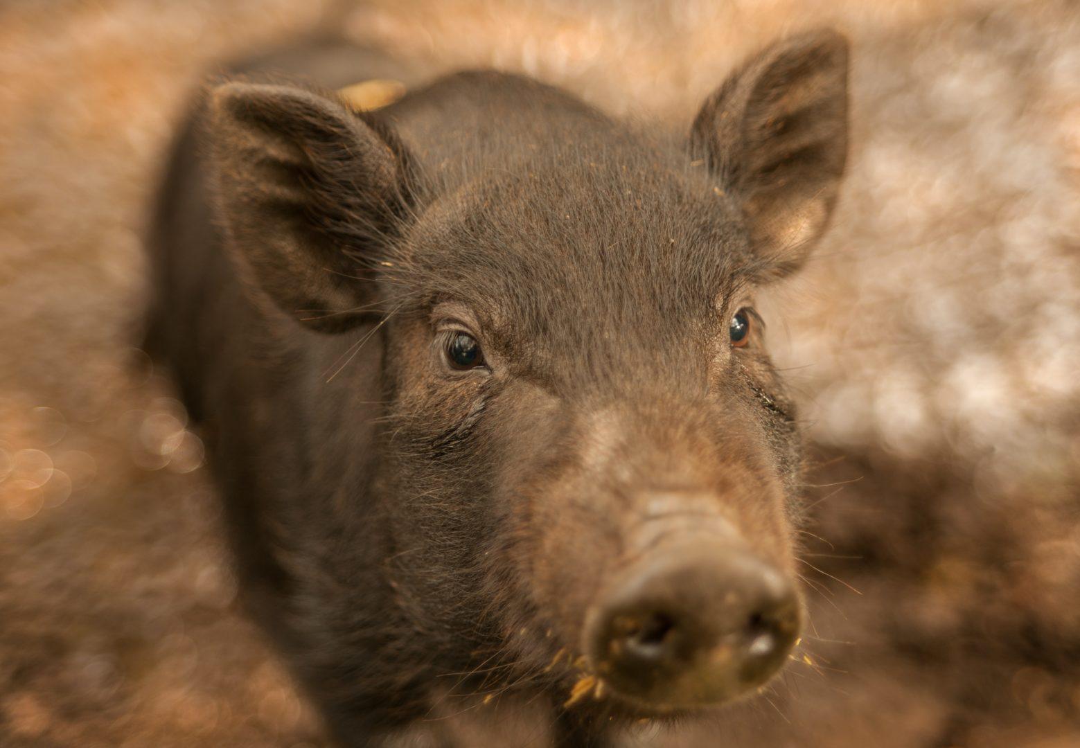 brown piglet