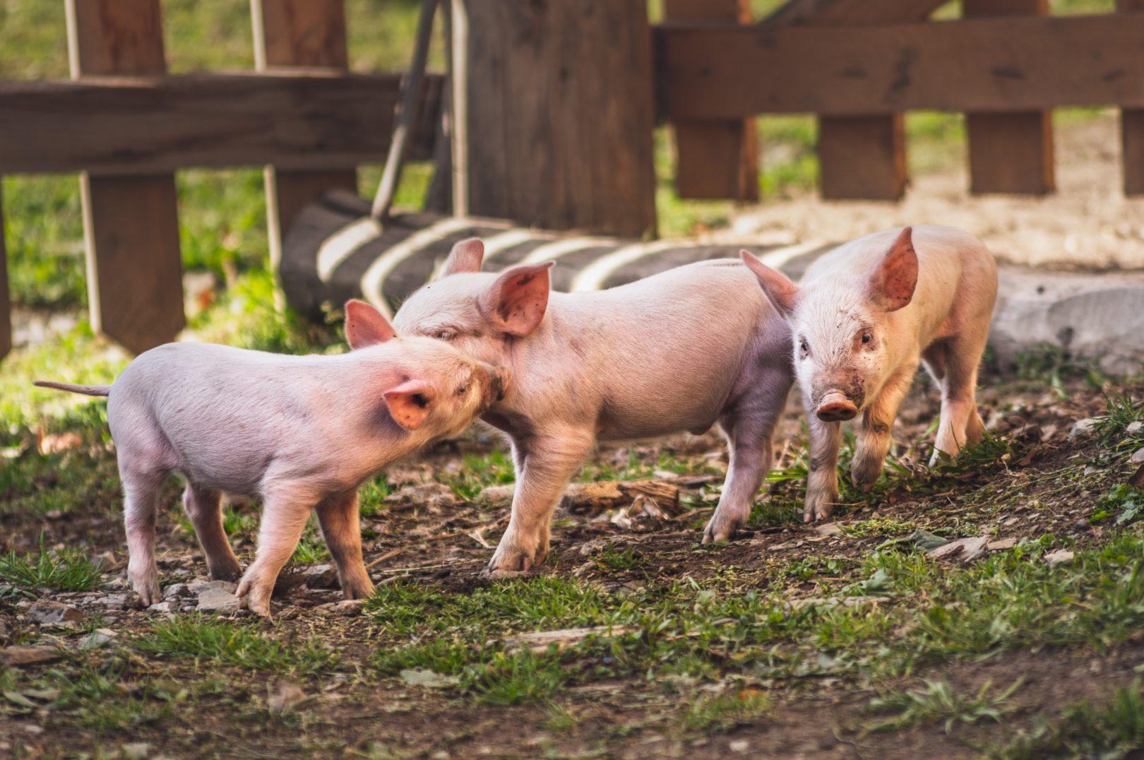piglets on farm